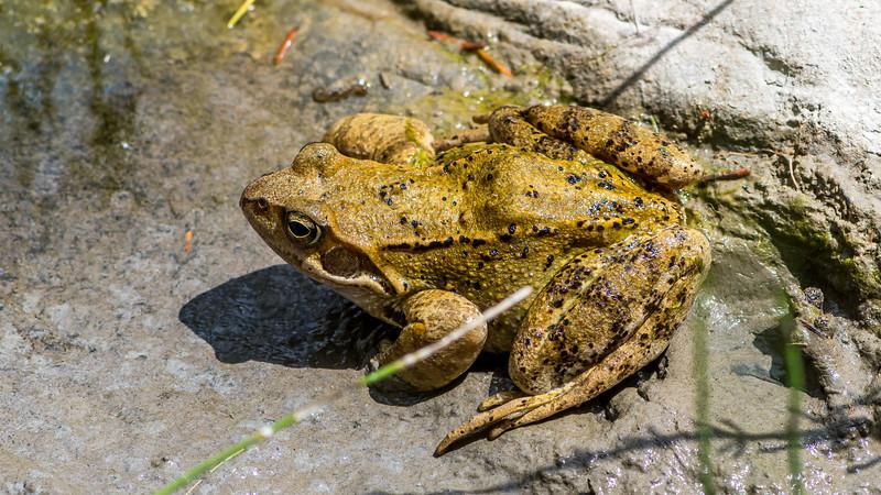 European Grass Frog