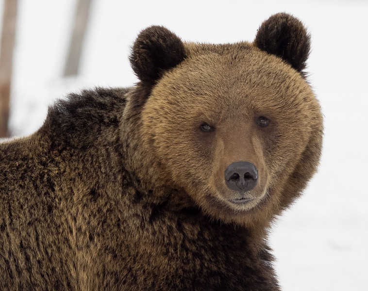 Brown Bear looking like he wouldn't hurt a fly!
