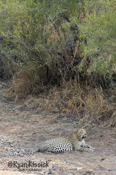 Leopard sitting in a dry ravine
