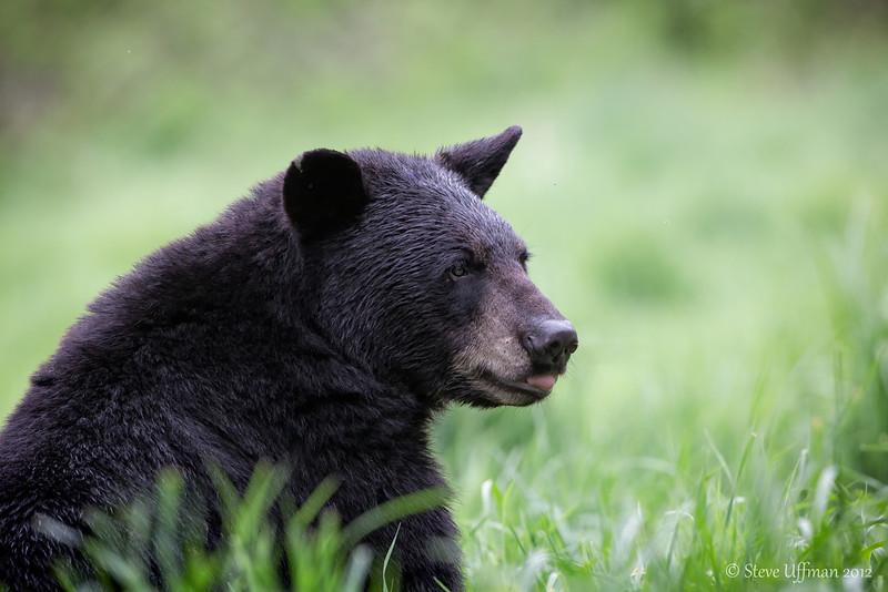 20120520-_Q2C6600Black_Bears-Edit.jpg