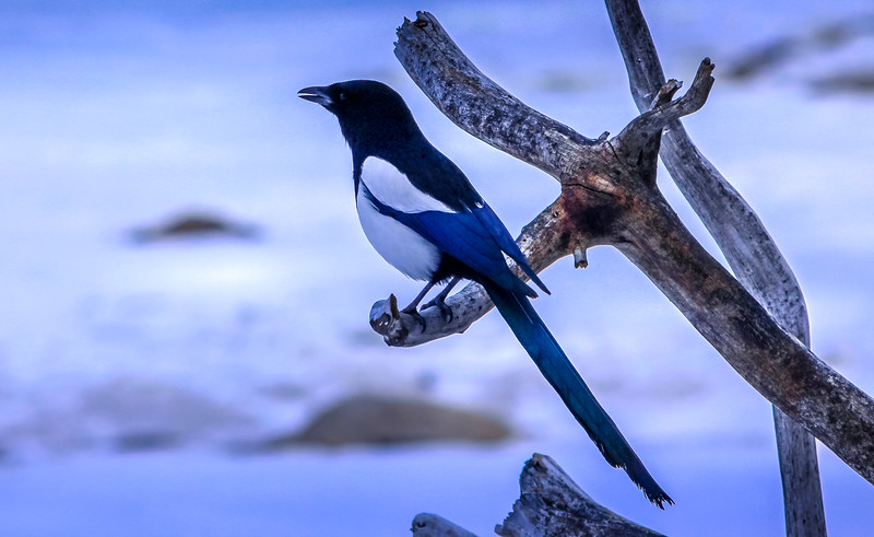Black-billed magpie, Banff, Canada