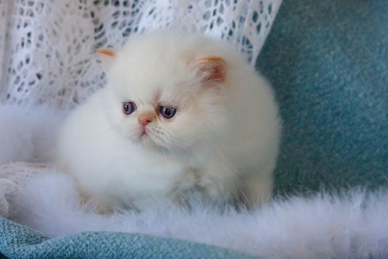 Himi_Kittens_Nov30-8061.jpg