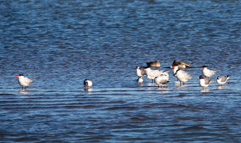 Caspian Terns, Laughing Gulls, and two Brown Ducks