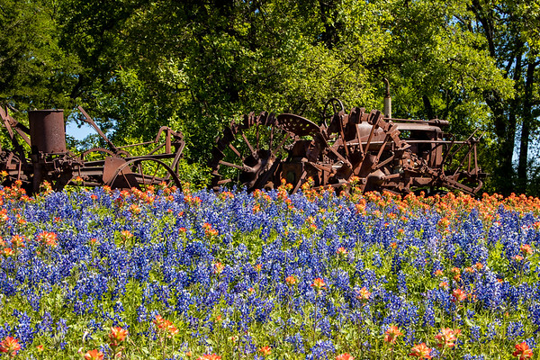 Texas Bluebonnets 2019