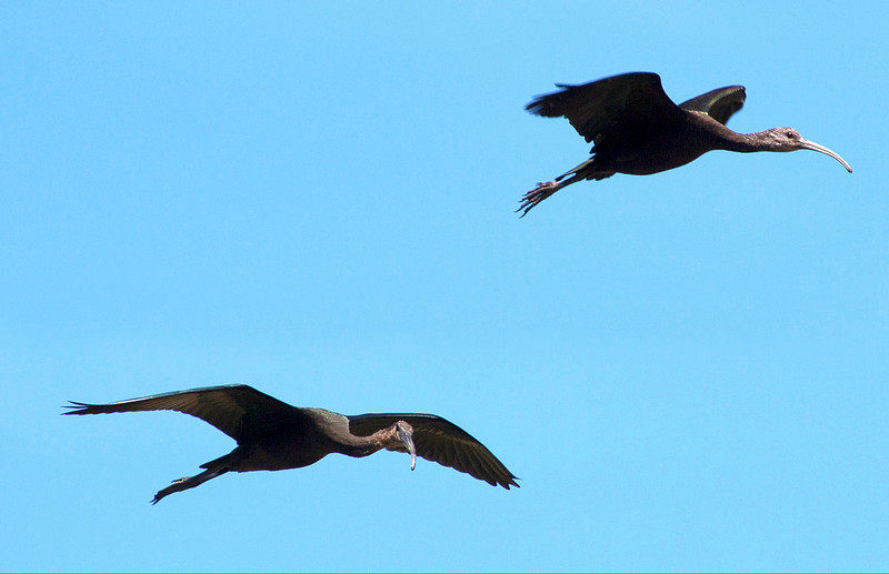 A pair of Glossy Ibis fly past us.
