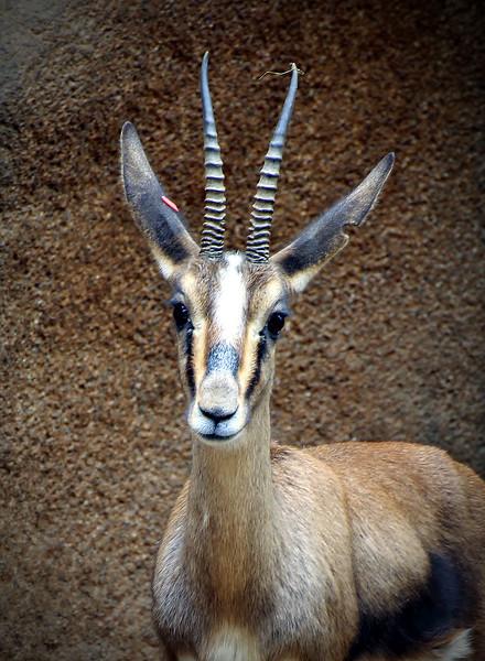 Deer of some kind with gazelle horns.jpg