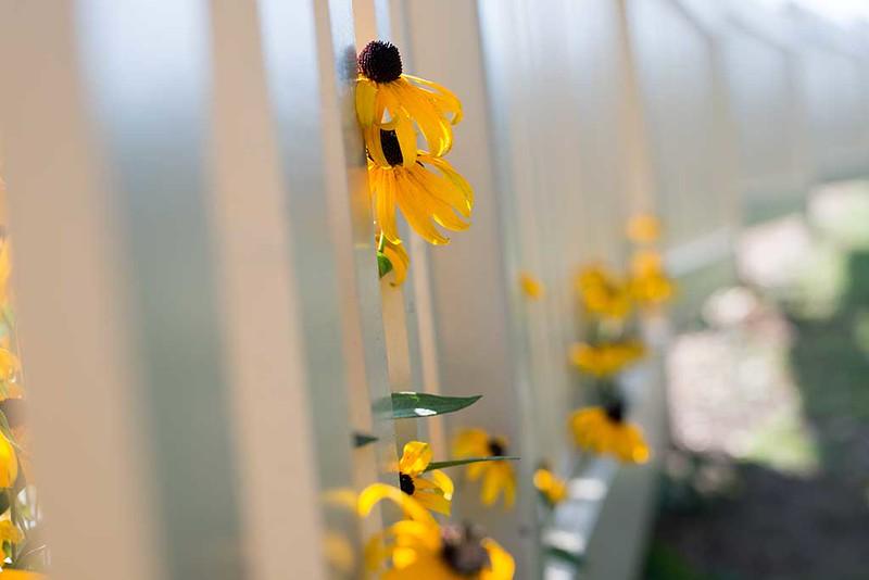 Fence-with-Daisies-4LR.jpg
