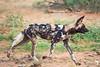 African Wild Dog on the Run