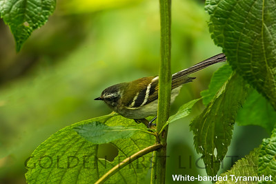 White-banded Tyrannulet, Ecuador