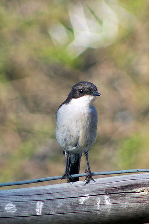 Family: Muscicapidae (thrushes, robins, chats, Old World flycatchers)