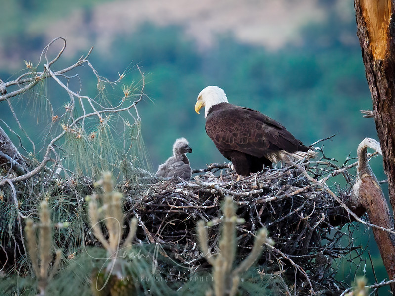 210420-Lassen Bald Eagle Nest April-4209280-Edit.jpg