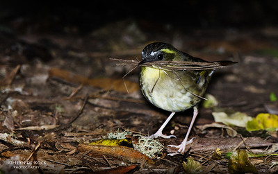 Yellow-throated Scrubwren (Sericornis citreogularis)