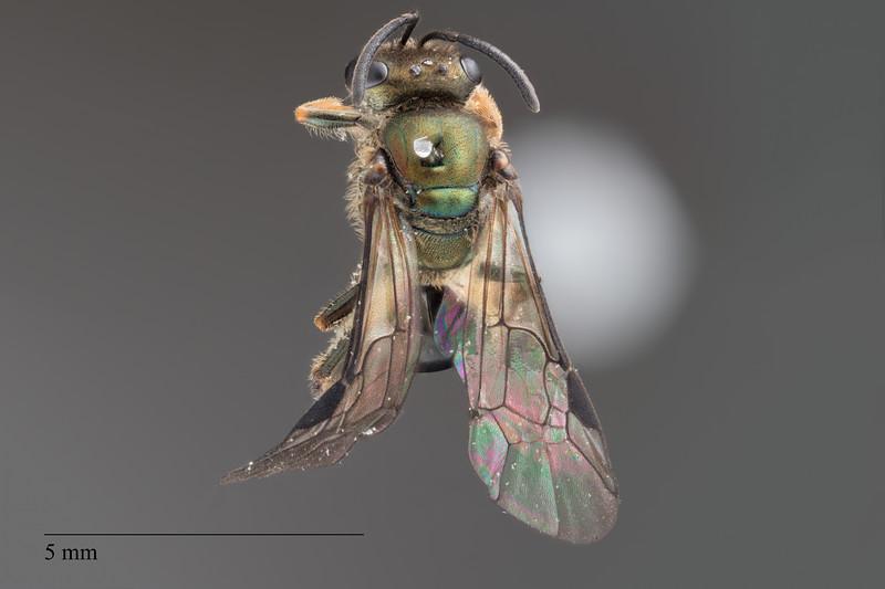 Homalictus concavus female