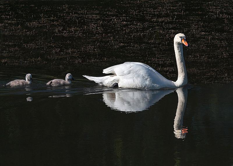 3. Swan Reflection.jpg
