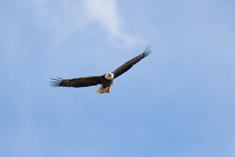 Eagle 17 Goldfish