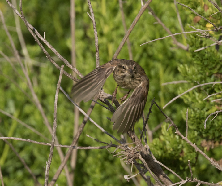 Song Sparrow Carlsbad 2019 04 21-1.CR2