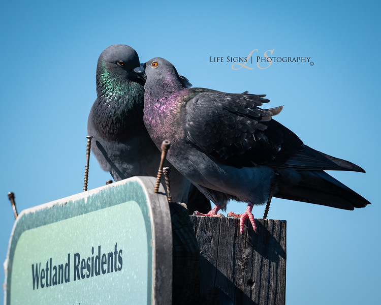 LS - Birds - Pigeon Love-1.JPG