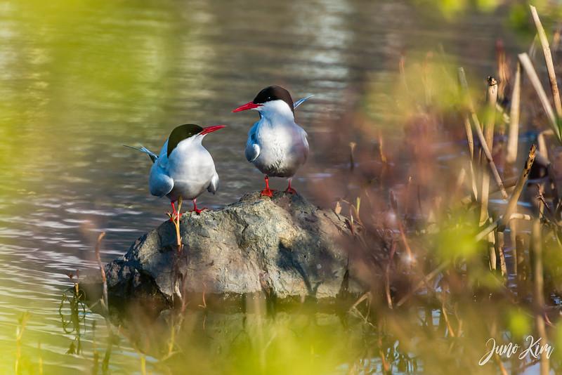 2020-05-12_Potter Marsh bird-_6109600-Juno Kim.jpg