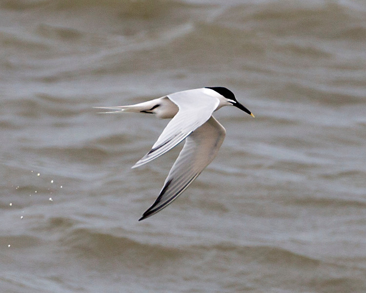 Another Sandwich Tern in flight