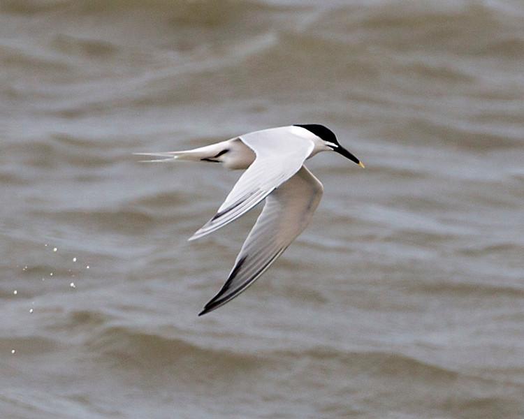 Another Sandwich Tern in flight