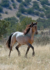 New Mexico Mustangs