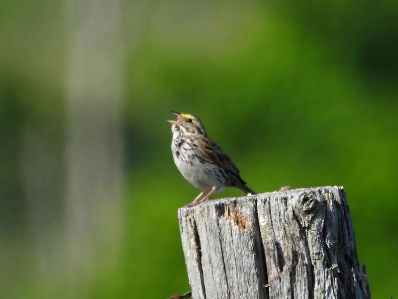 Savannah Sparrow  (Photo by Don McLeod)