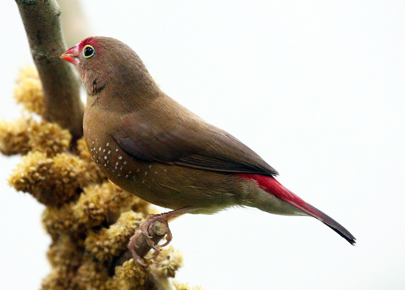 Another view of the Female Fire Finch
