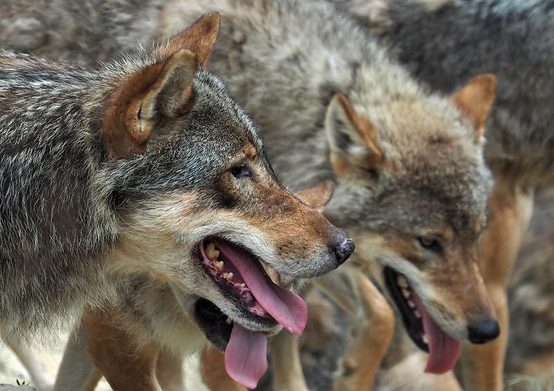 Wolf Spormagiore 10-07-18 (8).jpg