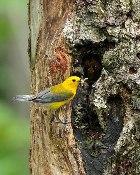 Prothonotary warbler delivering food to nest