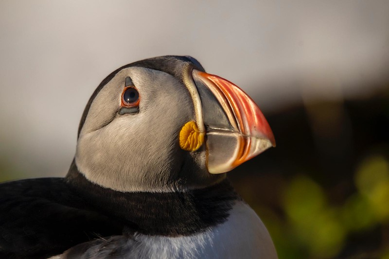 Puffin form the series 'Kites in the Sky'