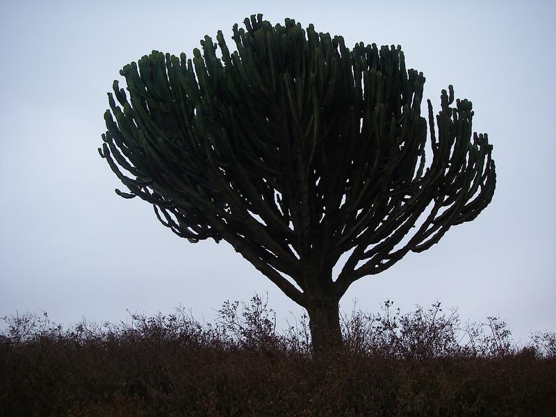 Interesting tree-cactus
