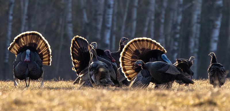 Wild Turkey flock displaying male toms courtship Skogstjarna Carlton County MN  IMGC5734.jpg