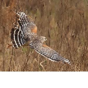 Hawk Like