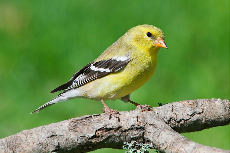 Goldfinch - American - female - Dunning Lake, MN - 01