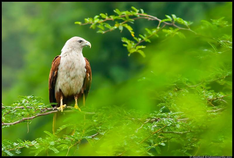 Brahminy Kite.....