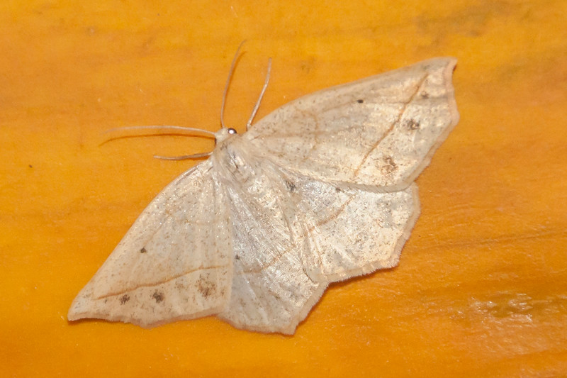 Eusarca-Confused-(Eusarca confusaria)- Dunning Lake - Itasca County, MN