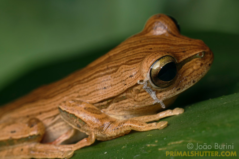 Boana (Hypsiboas) treefrog most-moult, with it's previous skin still attached behind the eyes, in Intervales State Park, Brazil. South-east atlantic forest reserve, UNESCO World Heritage Site.