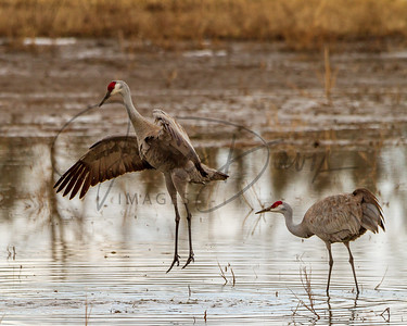 Sandhill Cranes Mating, Creamer's Field, Fairbanks Alaska.