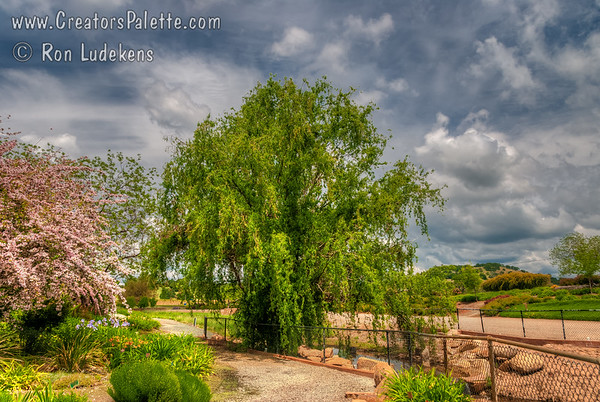 Salix matsudana 'Tortuosa' (Corkscrew Willow)