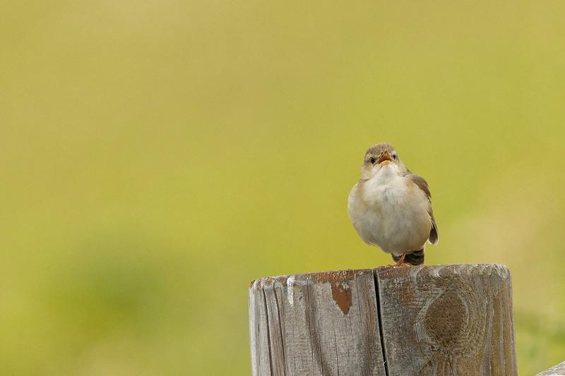 Middendorff's Warbler