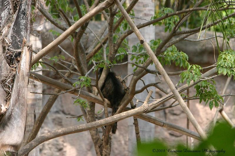 Brown Capuchin1.jpg