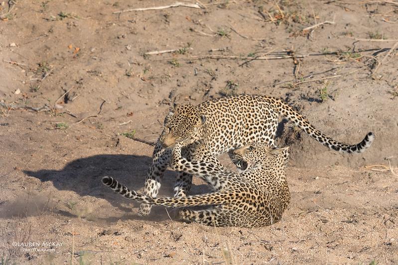 Leopard (Salayexe & Tiyane), Sabi Sands (EP), SA, Oct 2016-1.jpg