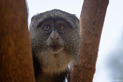 Diademmarekatt (Blue monkey)