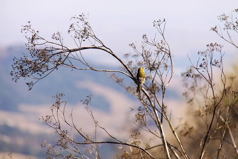 Bird purchased on tree at Las Trampas Regional Wilderness, CA