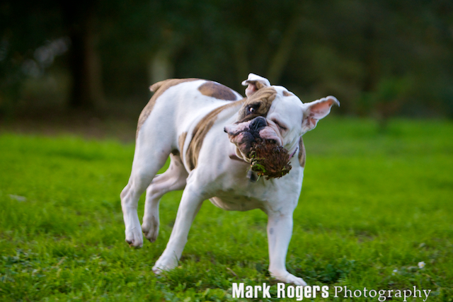 Bulldog mix with pinecone