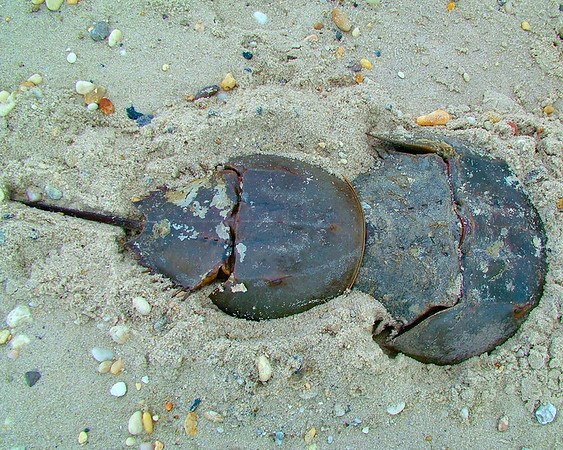 South Bowers' Horseshoe Crabs