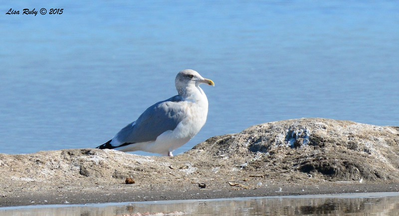 Herring Gull #2 - 1/17/2015 - Salt Works, Chula Vista