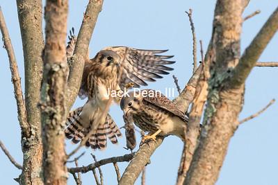 Male And Female American Kestrels Feeding