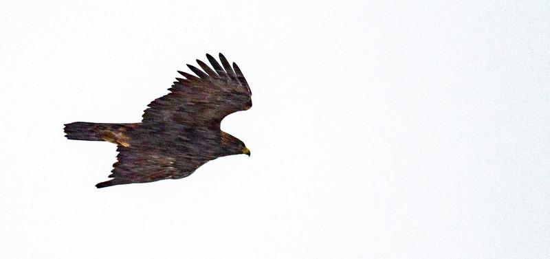 Golden Eagle Theodore Roosevelt National Park Medora ND -2100.jpg