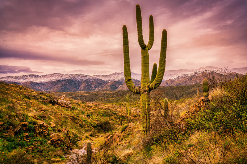 Saguaro Cactus, Black Canyon, Arizona
